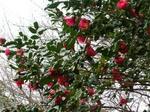 椿の木.jpg