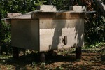 ミツバチ巣分かれ1.jpg