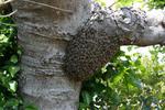 ミツバチ巣分かれ3.jpg
