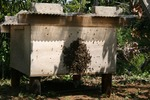 ミツバチ巣分かれ2.jpg