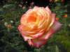 あけぼの色のバラ