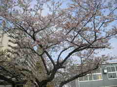 小学校の桜上